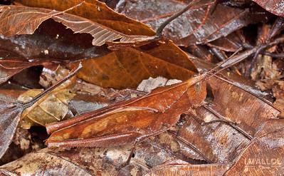 Leaf litter camouflage