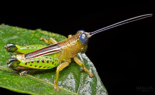 Blue eyes grasshopper