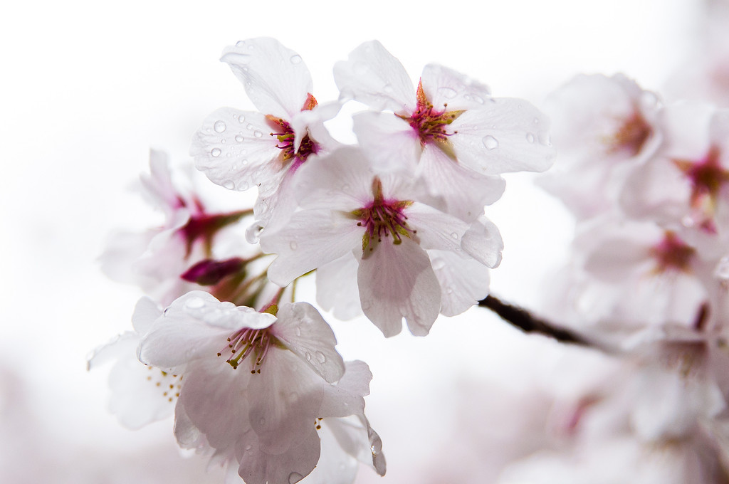 Close-up of cherry blossoms.