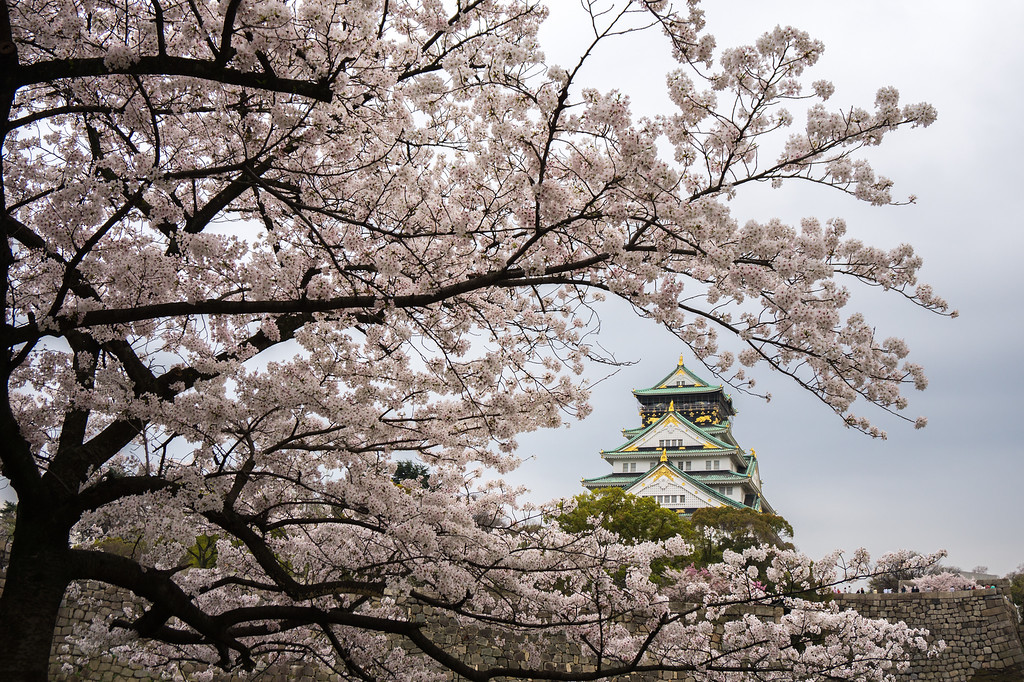 Cherry blossoms at Osaka Castle Park.
