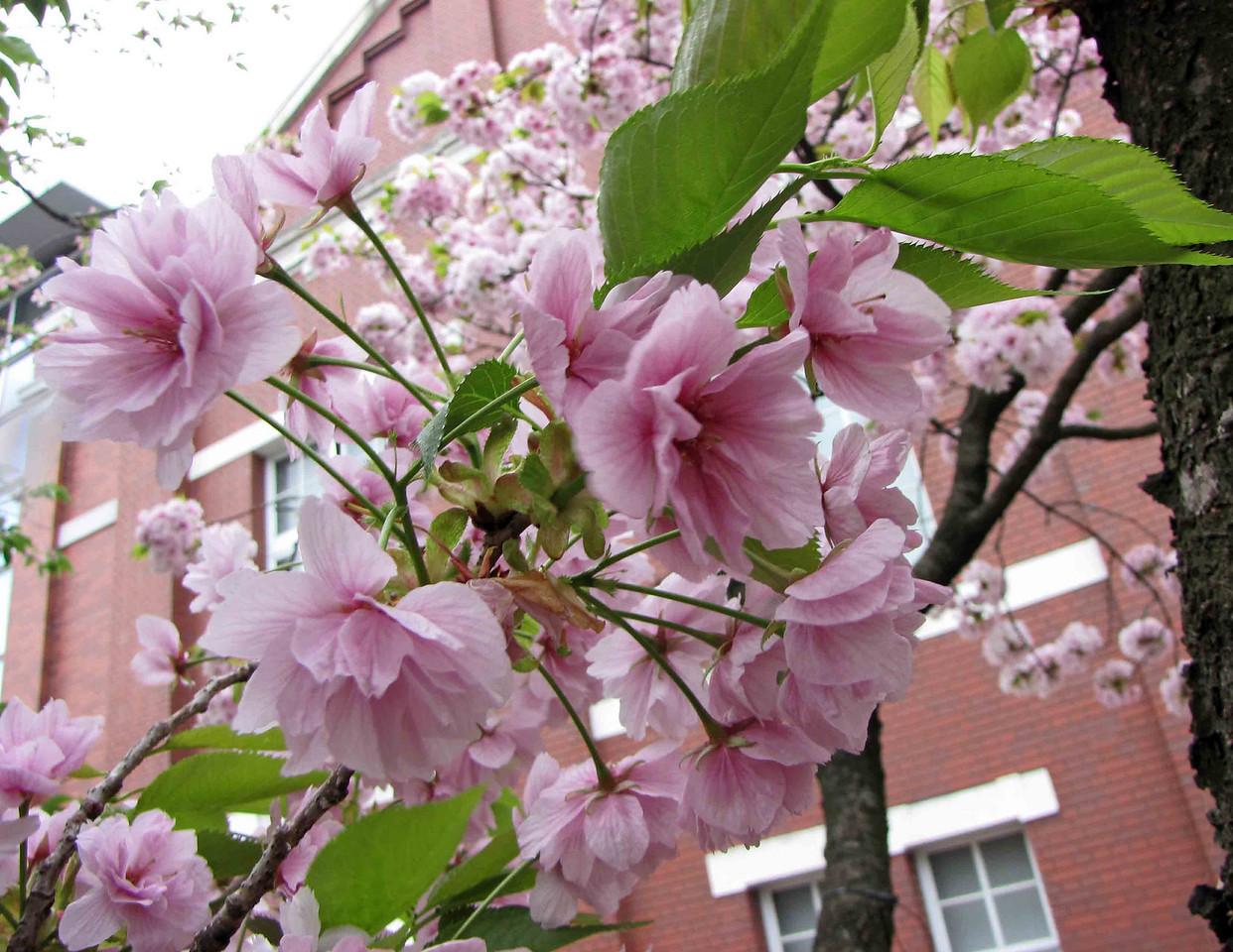 Close-up of cherry blossom at Osaka Mint.