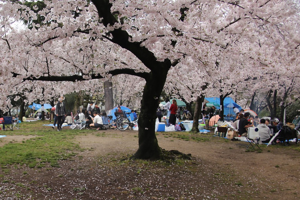 Locals enjoy the cherry blossoms in full bloom at Sumiyoshi Park