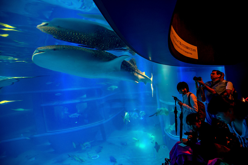 Whale shark at Osaka Aquarium. Editorial credit: f11photo / Shutterstock.com