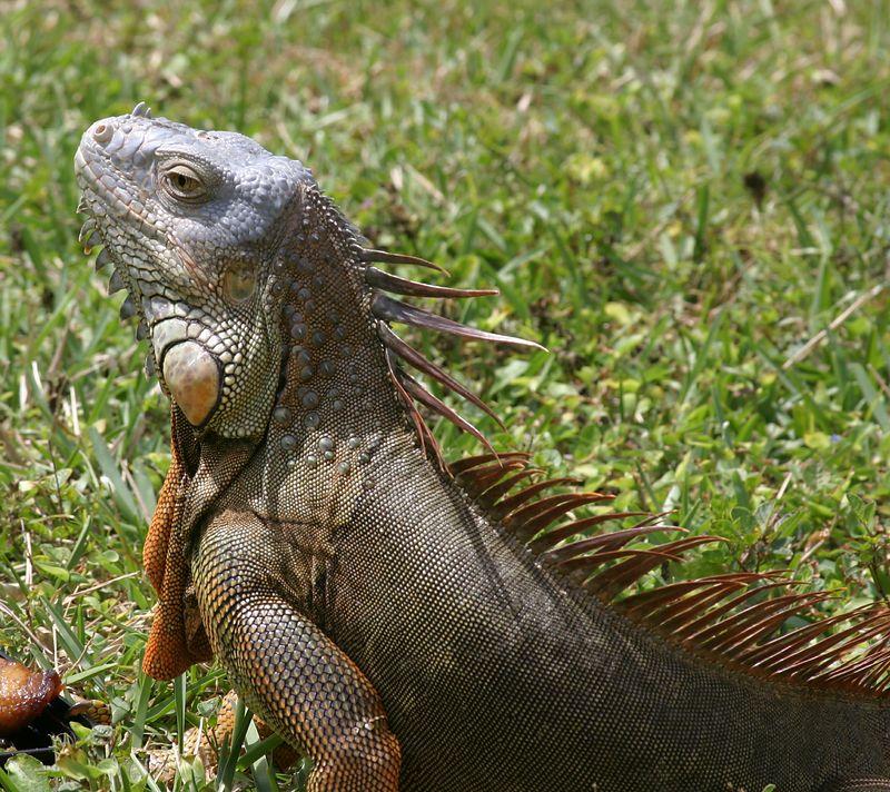 Oscar - Our Favorite Iguana