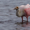 Roseate spoonbill  with a shrimp.