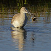 Willet with a crab.