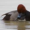 Redhead, duck