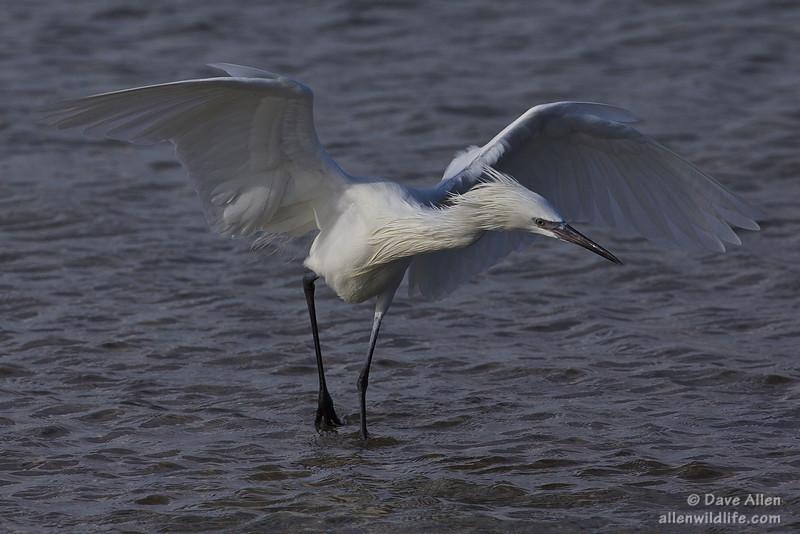 Reddish egret  Fishing.