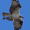 Osprey with a Sea trout.