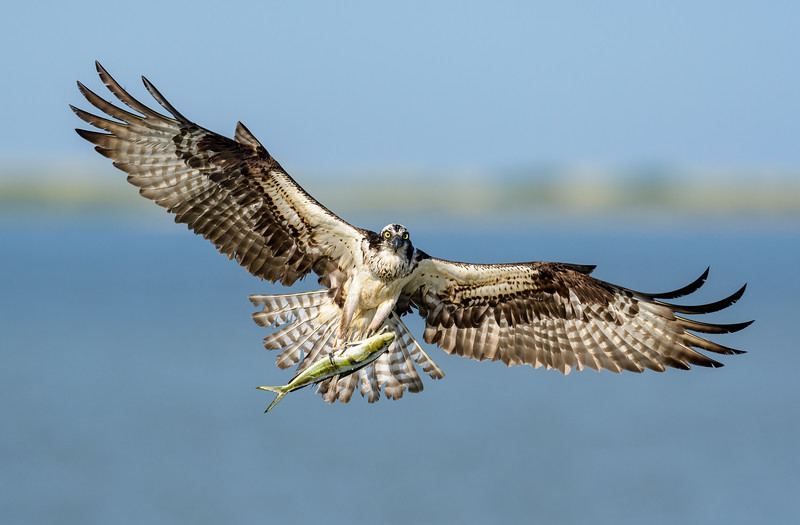 Adult Female Osprey with Mahi Mahi catch