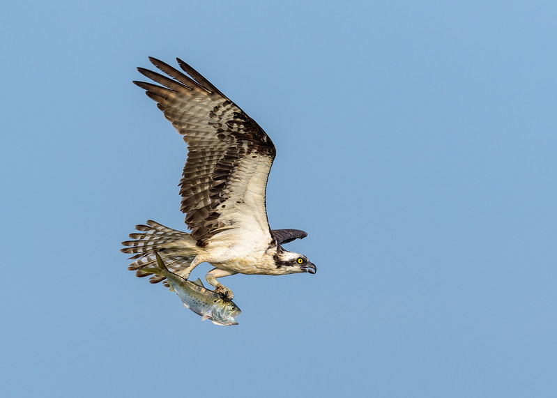 Adult Male Osprey with a Menhaden