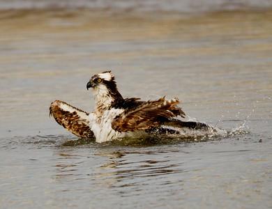 Osprey  San Luis Rey Oceanside 2012 01 15 (2 of 7)-2.CR2