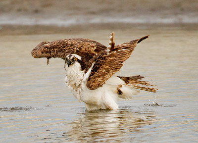 Osprey  San Luis Rey Oceanside 2012 01 15 (1 of 7)-2.CR2