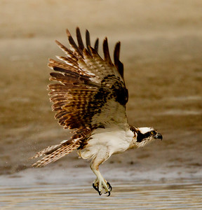 Osprey  San Luis Rey Oceanside 2012 01 15 (7 of 7)-2.CR2
