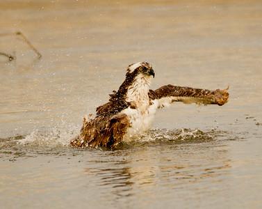 Osprey  San Luis Rey Oceanside 2012 01 15 (3 of 7)-2.CR2