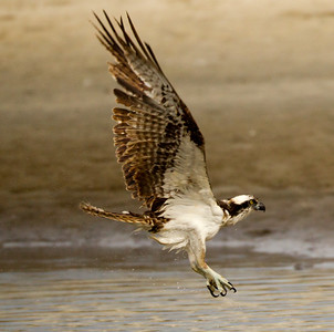 Osprey  San Luis Rey Oceanside 2012 01 15 (6 of 7)-2.CR2