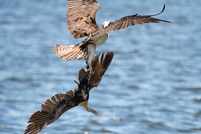Osprey didn't want the anhinga fishing in its area.