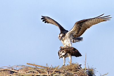 Ospreys Mating on Nest in Central Florida