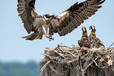 (OS20) Osprey flying to nest