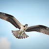 Fledgling Osprey in flight - July 14, 2017