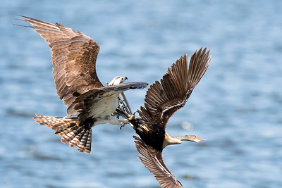 Osprey chasing Anhinga out of its area