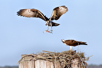 Osprey has 3 small fish in talons