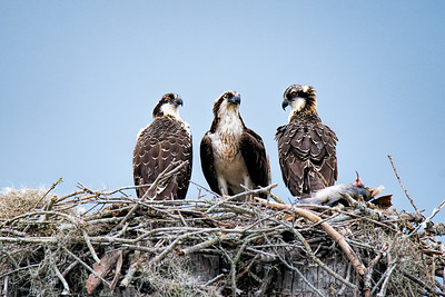 Mother Osprey and two young on nest