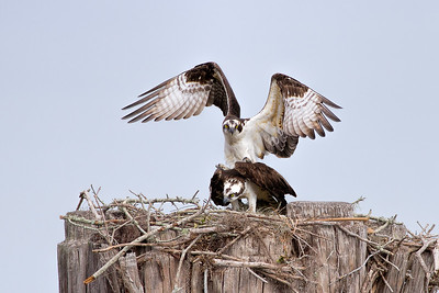 February  2017 Mating Ospreys - Central Florida
