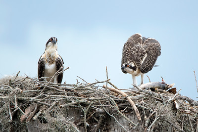 Two Young Osprey on Nest