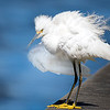Snowy Egret doing a feather fluff - at Osprey Nest