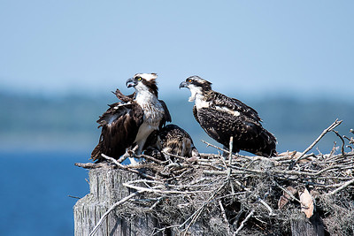 Ospreys alarmed by other birds flying close by