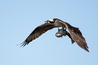 Osprey bringing a fish to the nest