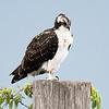 Fledgling Osprey - Sanford, FL