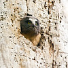 Northern saw-whet owl - chick