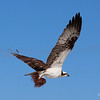 Osprey on Ft. Myers Beach collecting nesting material