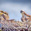 ospreychicks12
