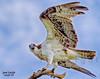 osprey15