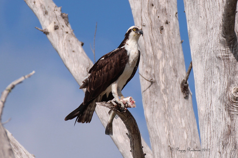 Osprey eating fish.  Lover's Key State Park.