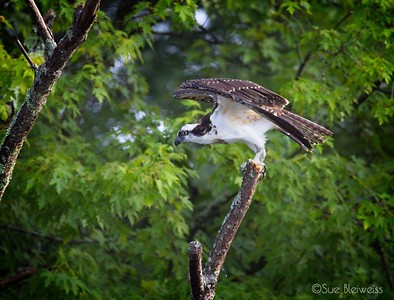 Osprey in tree