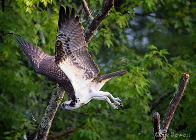 osprey taking off from tree