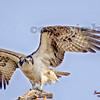 1osprey