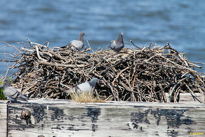 The baby osprey chicks are gone.  A lady from a local photography club told me she read in the paper that Langley will remove the fledglings and introduce them to another area in Virginia.  Perhaps that is what happened to the chicks.  Here, the pigeons have taken over the empty nest.