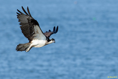 Female osprey.  She has bands on both legs/feet.