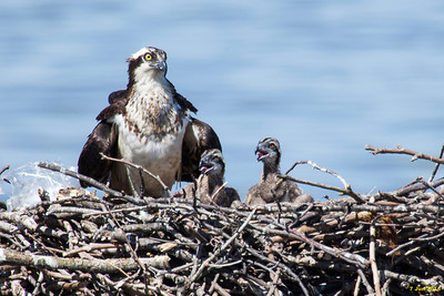 Momma and chicks after finishing their meal of raw fish.