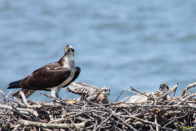 Momma osprey and her chicks the 4th week I have been observing them.