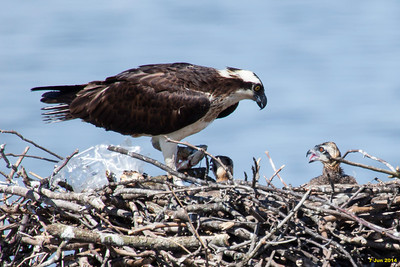 Momma osprey feeding fish to her young.