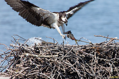 The female left the nest when a boat and fishermen got too close.  Here she is returning to the nest.  Interesting that when she flew away, she took the fish with her.