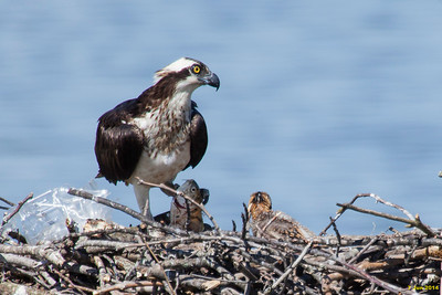 Momma osprey about to feed fish to her young.