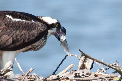Apparently nothing is wasted when ospreys eat a fish.  Here the female is swallowing the fish tail.
