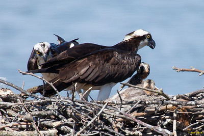 Osprey family together after the male delivered a fish to eat.